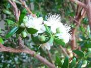Мирт - растение счастья и здоровья, подарочный вариант.