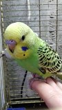 ручной малыш самец волнистый попугай Донецк
