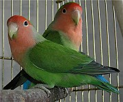 Попугаи розовощёкие неразлучники, молодёжь. Цена 500 руб. Макеевка