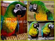 Милиголд (гибрид попугаев ара) - ручные птенцы из питомников Европы Москва