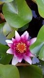 Лилии для пруда.РАСПРОДАЖА.Фото реальные Макеевка