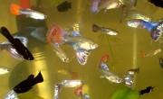Аквариумные рыбки гуппи Донецк