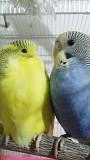 Ручные волнистые попугаи молодые Макеевка