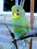 самка, самец волнистого попугая Макеевка