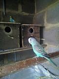 волнистый попугай мальчик молодой Макеевка