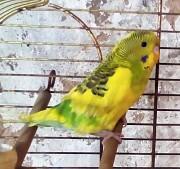 яркая самка волнистого попугая 1,5 мес Макеевка