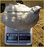 Инкубационные яйца перепела Техасец (USA). Москва