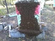 Пчелосемьи,пчелопакеты