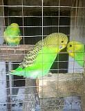 яркая самка, самец волнистого попугая 1,5 мес Макеевка